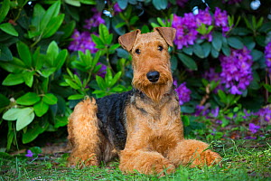 Airedale Terrier lying down in garden amongst Rhododendron flowers. Connecticut, USA. June.  -  Lynn M. Stone