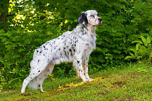 English Setter standing on slope. Connecticut, USA. June.  -  Lynn M. Stone