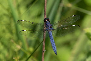 Spangled skimmer dragonfly (Libellula cyanea) male resting on stem. Connecticut, USA. June.  -  Lynn M. Stone