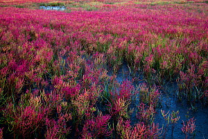 Glasswort (Salicornia sp) turning salt marsh along tidal river pink in autumn. Long Island Sound, Madison, Connecticut, USA. September.  -  Lynn M. Stone