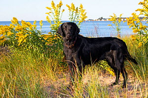 Flat-coated Retriever standing in sand dune overlooking Long Island Sound. Connecticut, USA. September.  -  Lynn M. Stone