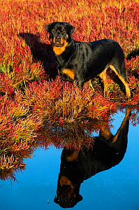 Rottweiler on saltmarsh in autumn, reflected in water. Connecticut, USA. September.  -  Lynn M. Stone