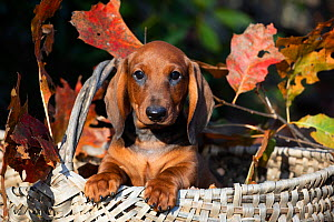 Smooth Dachshund puppy in basket with autumn leaves. Connecticut, USA, October.  -  Lynn M. Stone
