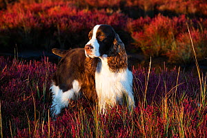English Springer Spaniel standing in saltmarsh in autumn. Connecticut, USA. October.  -  Lynn M. Stone