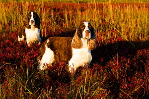English Springer Spaniel, two standing in saltmarsh in autumn, in evening light. Connecticut, USA. October.  -  Lynn M. Stone