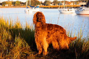 Irish Setter standing at coast in evening light. boats in background. Connecticut, USA.  -  Lynn M. Stone
