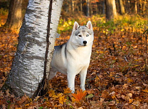 Siberian Husky male standing beside tree trunk in autumn foliage. Mohawk State Forest, Connecticut, USA . October.  -  Lynn M. Stone