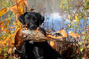Black Labrador Retriever with retrieved Ring-necked pheasant in mouth, beside pond. Connecticut , USA. November.  -  Lynn M. Stone