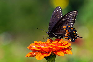 Spicebush swallowtail butterfly (Papilio troilus) nectaring on Zinnia. Connecticut, USA. August.  -  Lynn M. Stone