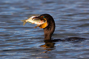Double-crested cormorant (Phalacrocorax auritus) feeding on Blue striped grunt (Haemulon sciurus) fish prey. Tampa Bay, Tierra Verde, Florida, USA, August.  -  Lynn M. Stone