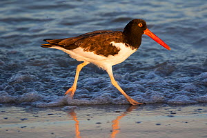 American oyster-catcher (Haematopus palliatus) walking along shoreline in morning light. Tierra Verde, Florida, USA. August.  -  Lynn M. Stone