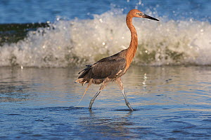 Reddish egret (Egretta rufescens) hunting minnows in surf, in non-breeding plumage. Tierra Verde, Florida, USA, August.  -  Lynn M. Stone