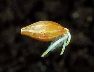 Barley (Hordeum vulgare) seed germinating with young roots and root hairs forming before plumule emerges.  -  Nigel Cattlin
