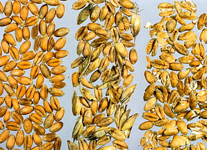 Wheat (Triticum aestivum) grains, a comparison of a good quality harvest with poorer harvest, grain with chaff and husk contamination, and crushed and broken grains.  -  Nigel Cattlin