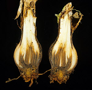 Nerine (Nerine bowdenii) bulb in cross section with necrosis caused by Basal rot (Fusarium oxysporum).  -  Nigel Cattlin