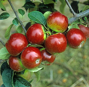 Spartan apples, ripe on branch in commercial orchard. Oxfordshire, England, UK. September.  -  Nigel Cattlin