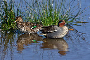 Eurasian teal (Anas crecca) foraging, in water. Le Teich, Gironde, France, March.  -  Loic Poidevin