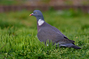 Wood pigeon (Columba palumbus) foraging in grass, Vendee, France, January  -  Loic Poidevin