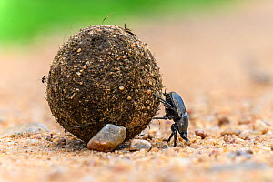 Dung beetle (Scarabaeidae) rolling dung ball. South Luangwa National Park, Zambia.  -  Nick Garbutt
