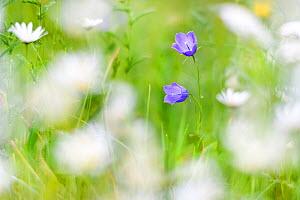 Bellflower (Campanula sp) surrounded by Oxeye daisies. North Tyrol, Austrira. June.  -  Nick Garbutt