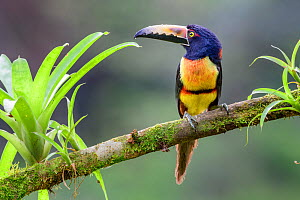 Collared aracari (Pteroglossus torquatus) perched on branch amongst epiphytes. Boca Tapada, Costa Rica.  -  Nick Garbutt