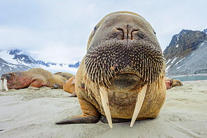 Walrus (Odobenus rosmarus) amongst group hauled out on shore. Spitsbergen, Svalbard, Norway. July.  -  Nick Garbutt