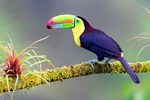 Keel-billed toucan (Ramphastos sulfuratus) feeding, perched on branch with fruit seed in beak. Boca Tapada, Costa Rica. Sequence 1/2.  -  Nick Garbutt