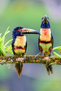 Collared aracaris (Pteroglossus torquatus), two perched on branch. Boca Tapada, Costa Rica.  -  Nick Garbutt
