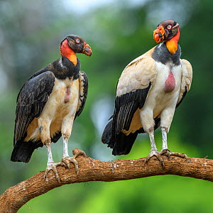 King vulture (Sarcoramphus papa), two perched on branch, adult on right, juvenile on left. Laguna del Lagarto, Boca Tapada, Costa Rica. Controlled conditions.  -  Nick Garbutt