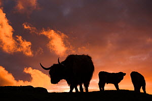 Highland cows, three silhouetted at dusk. Glengorm Estate, Isle of Mull, Scotland, UK. June.  -  Nick Garbutt