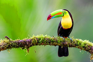 RF - Keel-billed toucan (Ramphastos sulfuratus) perched on mossy branch. Boca Tapada, Costa Rica. (This image may be licensed either as rights managed or royalty free.)  -  Nick Garbutt