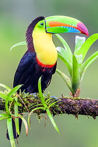 RF - Keel-billed toucan (Ramphastos sulfuratus) perched on branch. Boca Tapada, Costa Rica. (This image may be licensed either as rights managed or royalty free.)  -  Nick Garbutt