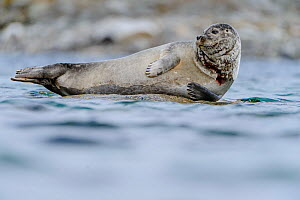 RF - Harbour seal (Phoca vitulina) hauled out on rock in shallow water. Woodfjorden, Spitsbergen, Svalbard, Norway. (This image may be licensed either as rights managed or royalty free.)  -  Nick Garbutt