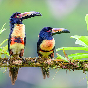 RF - Collared aracari (Pteroglossus torquatus), pair perched on branch, looking in same direction. Boca Tapada, Costa Rica. (This image may be licensed either as rights managed or royalty free.)  -  Nick Garbutt
