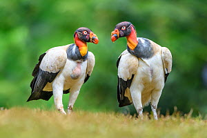RF - King vulture (Sarcoramphus papa), two side by side. Laguna del Lagarto, Boca Tapada, Costa Rica. Controlled conditions. (This image may be licensed either as rights managed or royalty free.)  -  Nick Garbutt