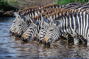 RF - Grant's zebra (Equus quagga boehmi), five drinking in unison at water hole following heavy rainfall. Ngorongoro Conservation Area, Serengeti National Park, Tanzania. (This image may be licens...  -  Nick Garbutt