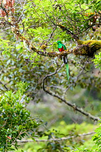 RF - Resplendent quetzal (Pharomachrus mocinno), male perched in canopy of cloud forest. Los Quetzales National Park, Savegre River Valley, Costa Rica. (This image may be licensed either as rights man...  -  Nick Garbutt