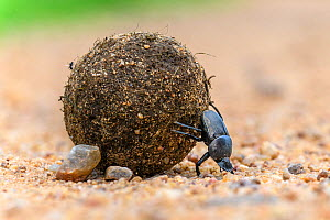 RF - Dung beetle (Scarabaeidae) rolling dung ball. South Luangwa National Park, Zambia. (This image may be licensed either as rights managed or royalty free.)  -  Nick Garbutt