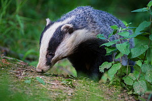 RF - European badger (Meles meles) foraging in woodland. Devon, England, UK. June. (This image may be licensed either as rights managed or royalty free.)  -  Nick Garbutt