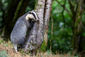 RF - European badger (Meles meles) climbing tree trunk whilst foraging in woodland. Devon, England, UK. June. (This image may be licensed either as rights managed or royalty free.)  -  Nick Garbutt