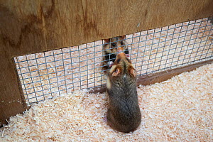 European hamsters (Cricetus cricetus) interacting through fenced enclosure setup to determine if the hamsters are ready to mate, part of a breeding program. This is necessary because the wild populati...  -  Edwin Giesbers