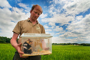 GaiaZOO keeper Bas Martens holding a European hamster (Cricetus cricetus), ready to release in a field as part of a breeding program, Limburg, The Netherlands. May. Model released.  -  Edwin Giesbers
