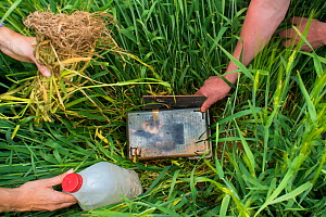 European hamster (Cricetus cricetus) being released in a field, part of a breeding program with GaiaZOO, Limburg, The Netherlands. May.  -  Edwin Giesbers