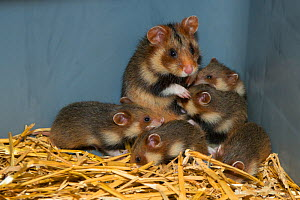 European hamster (Cricetus cricetus) female with five pups, captive animals, part of the GaiaZOO European hamster breeding program, GaiaZOO, Kerkade, The Netherlands. June.  -  Edwin Giesbers