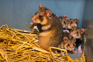 European hamster (Cricetus cricetus) female with four pups, captive animals, part of the GaiaZOO European hamster breeding program, GaiaZOO, Kerkade, The Netherlands. June.  -  Edwin Giesbers