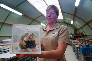 Zookeeper Nienke holding a clear container with a European hamster (Cricetus cricetus), part of a breeding program run by GaiaZOO, Kerkade, The Netherlands, May. Model released.  -  Edwin Giesbers
