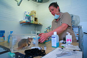 Zoo veterinarian Christine Kaandorp about to insert a telemetry transmitter into a European hamster (Cricetus cricetus). About 10 percent of the European hamsters in the breeding program are equipped...  -  Edwin Giesbers