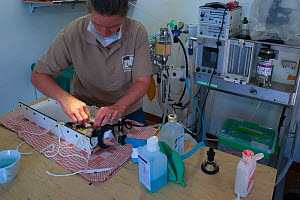 Zoo veterinarian Christine Kaandorp inserting a telemetry transmitter into a European hamster (Cricetus cricetus). About 10 percent of the European hamsters in the breeding program are equipped with a...  -  Edwin Giesbers