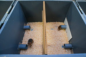 GaiaZOO European Hamster (Cricetus cricetus) Breeding Program: enclosure setup to determine if the hamsters are ready to mate. This is necessary because the wild population cannot survive on its own a...  -  Edwin Giesbers