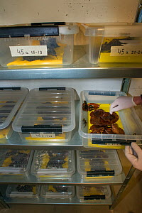 Wild Fire salamanders (Salamandra salamandra) keep in plastic trays, part of a program to capture the last wild population in the Netherlands and keep it safe in GaiaZOO to prevent infection from a de...  -  Edwin Giesbers